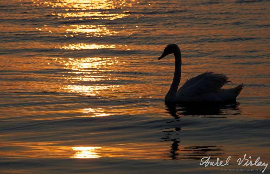 Lebada-Marea-Neagra-rasaritul-soarelui