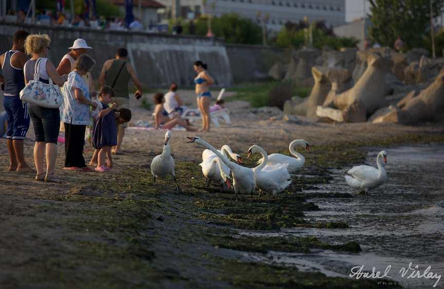 Lebede-litoral-marea-neagra-alge