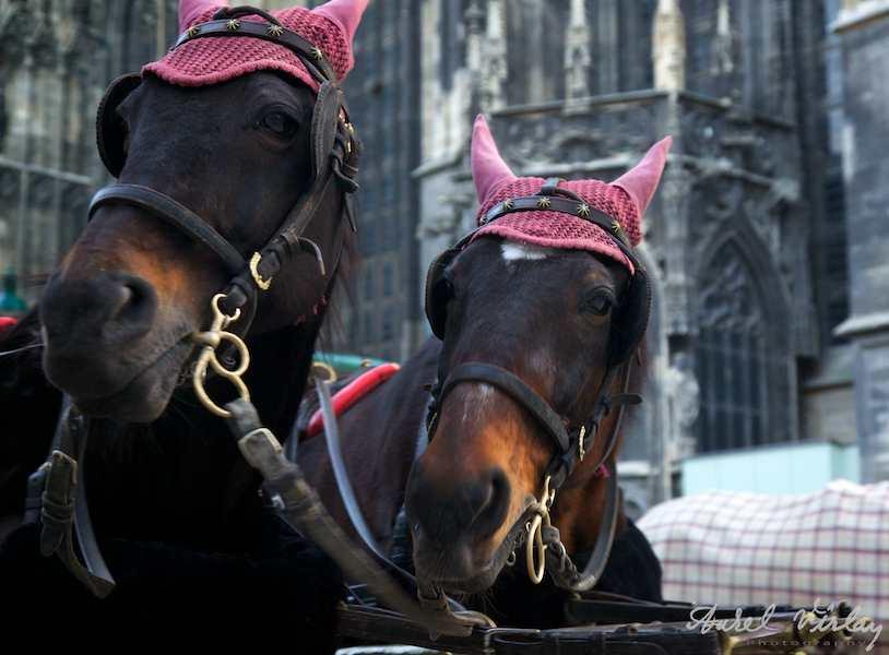 Caciulite urechi cai