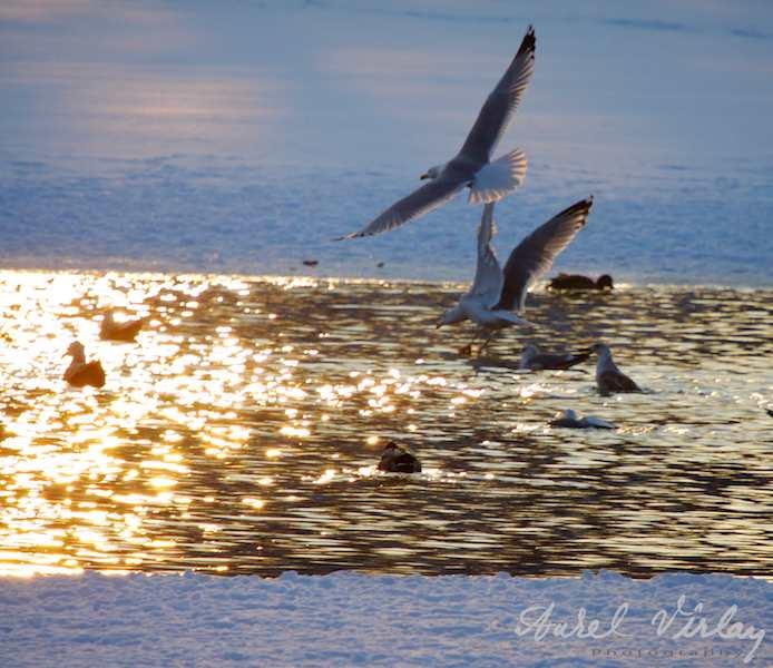 Zborul pescarilor in apus de soare - Spectacol gratuit oferit unui fotograf.