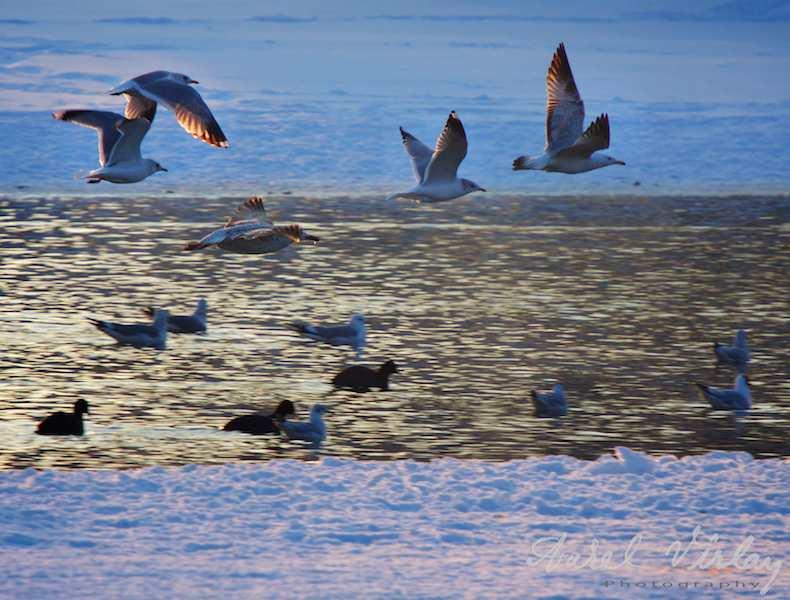 Pescarusi planand iarna deasupra lacului Herastrau.