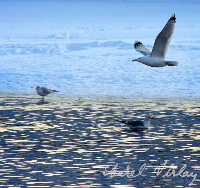 Pescarusul - Superba planare a unui pescarus deasupra apei lacului Herastrau.