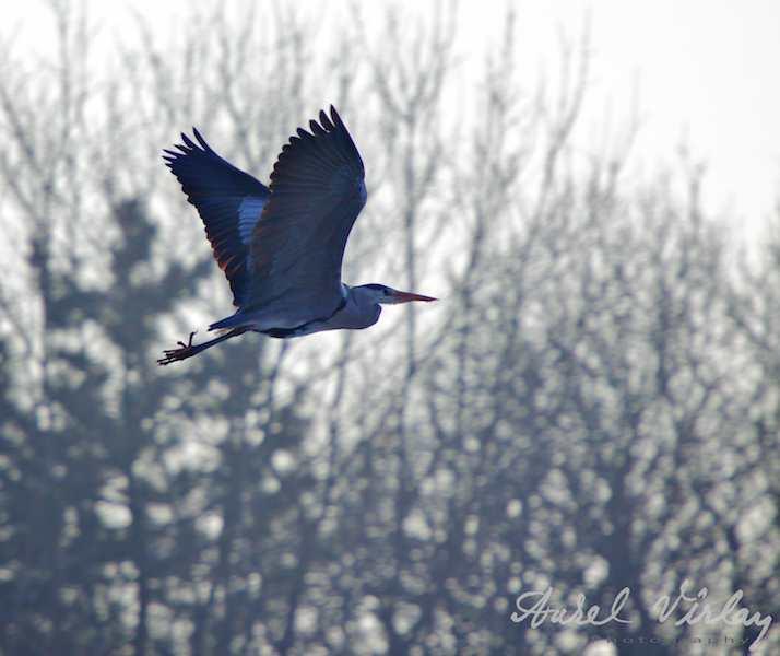 Zborul pasarii maiastre - Egreta mare lansata in vazduh.