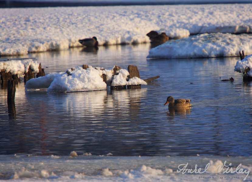 Peisaje-iarna-pasari-Herastrau-lac
