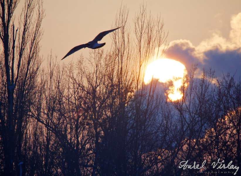 Zborul-unui-pescarul-deasupra-plopilor-apusul-soarelui