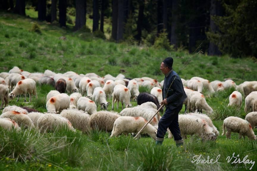 Fotografie de peisaj cu turma de oi manata de un cioban.