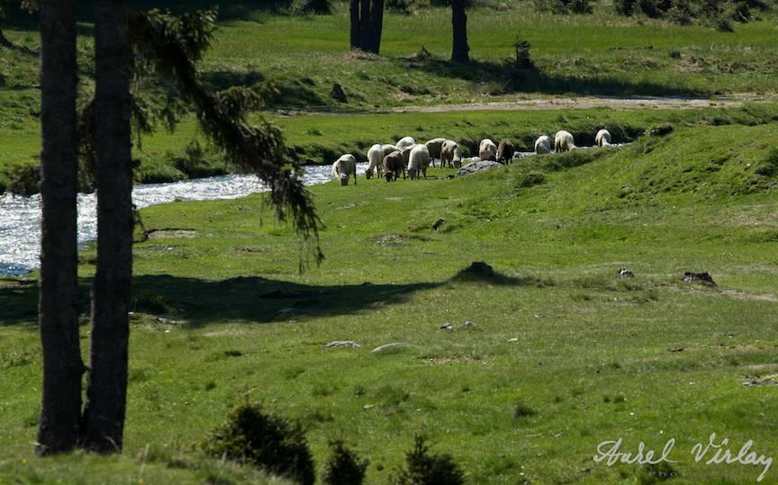 Fotografia de peisaj cu oi in cadru.