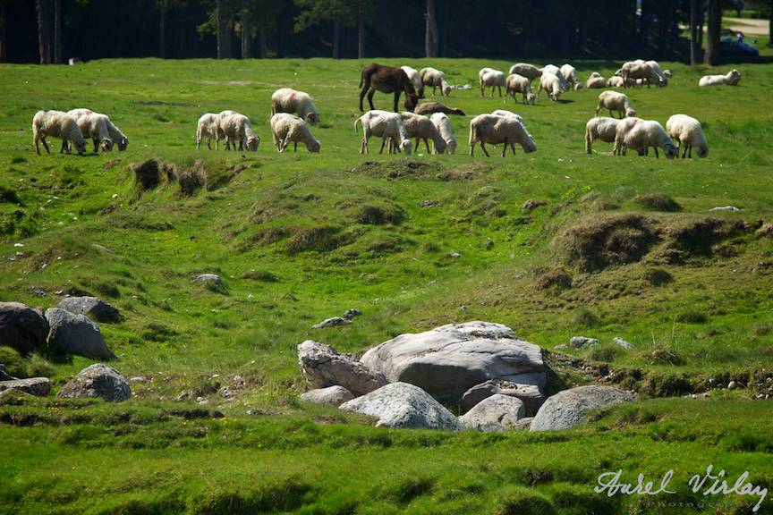 Pajiste cu oi in Muntii Bucegi.