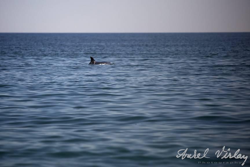 Delfin-Black-Sea-Vama-Veche-Marea-Neagra