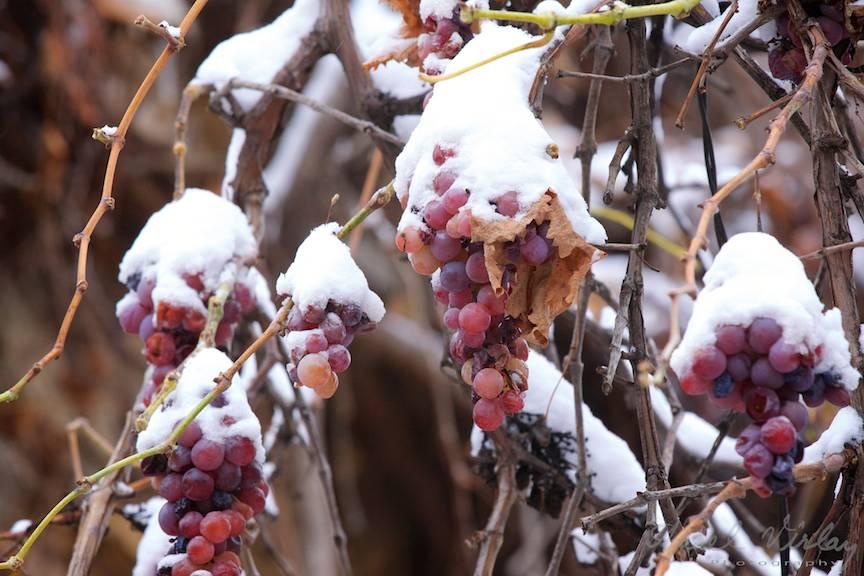 Detaliu fotografic cu struguri stafiditi acoperiti de prima zapada a iernii.