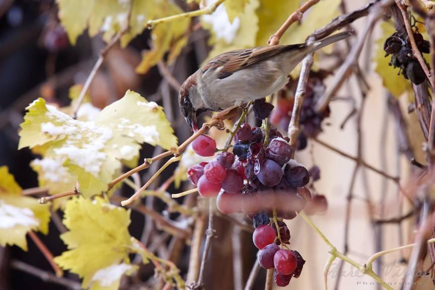 vrabie-masa-vegetariana-struguri
