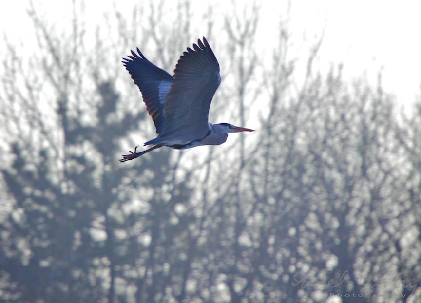 imagine foto barza in zbor iarna Bucuresti