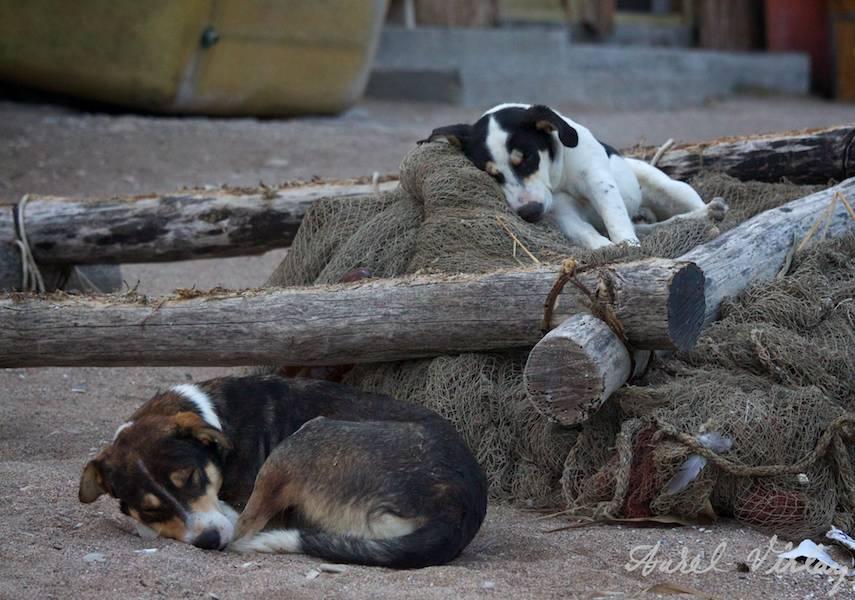 VamaVeche Cainii dormind pe navodul pescarilor la cherfana