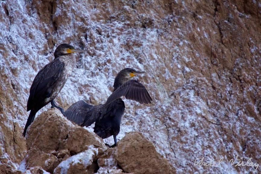 Colonie cormorani Fotografie pasari cu teleobiectivul 70-200mm Canon