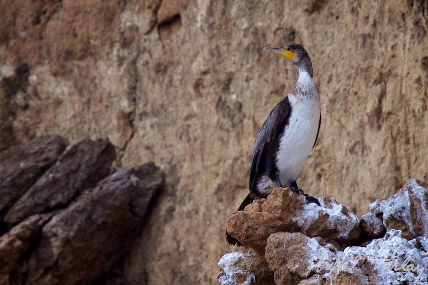Fotografie pasare cormoran cu teleobiectivul Canon EF 70-200mm