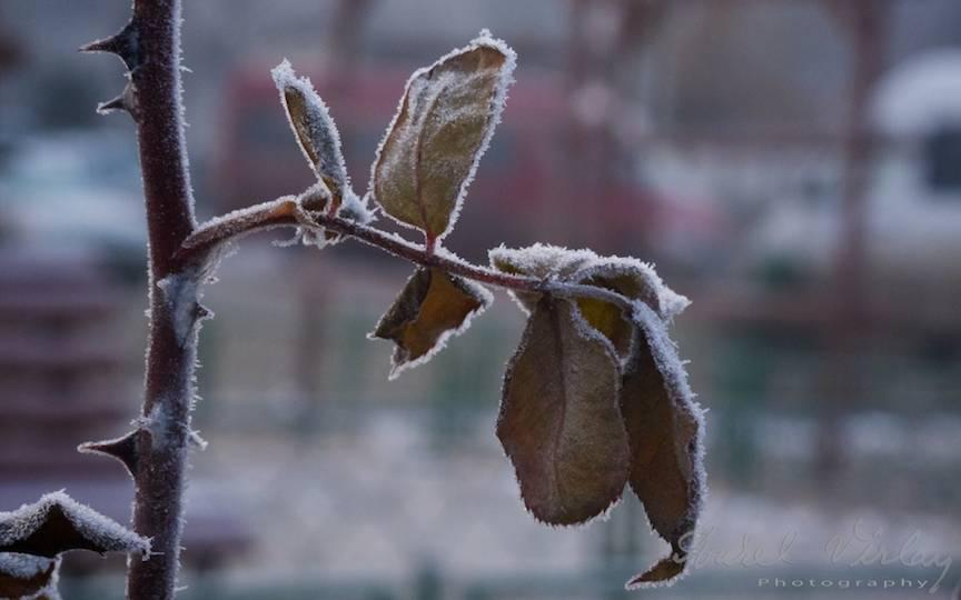 Fotografii-iarna-Bucuresti Promoroaca-cristale-ger  4