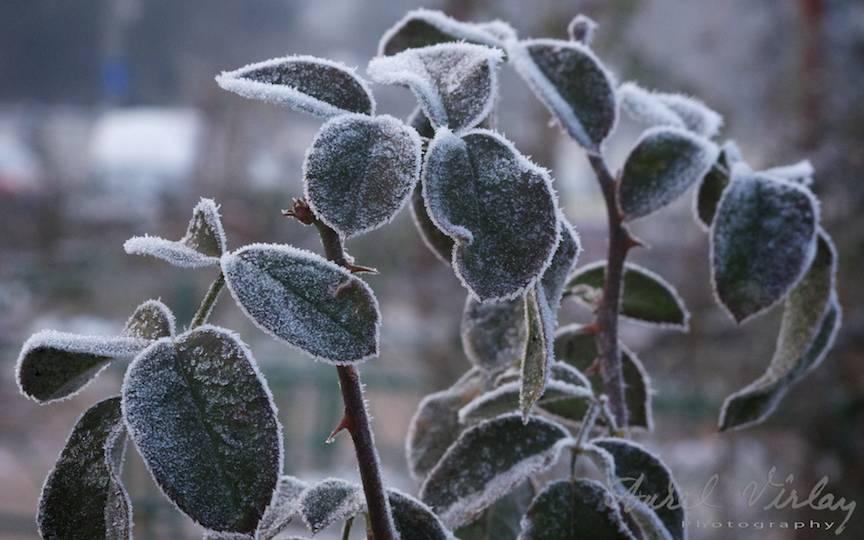 Frunzele _Fotografii-iarna-Bucuresti Promoroaca-cristale-ger  5