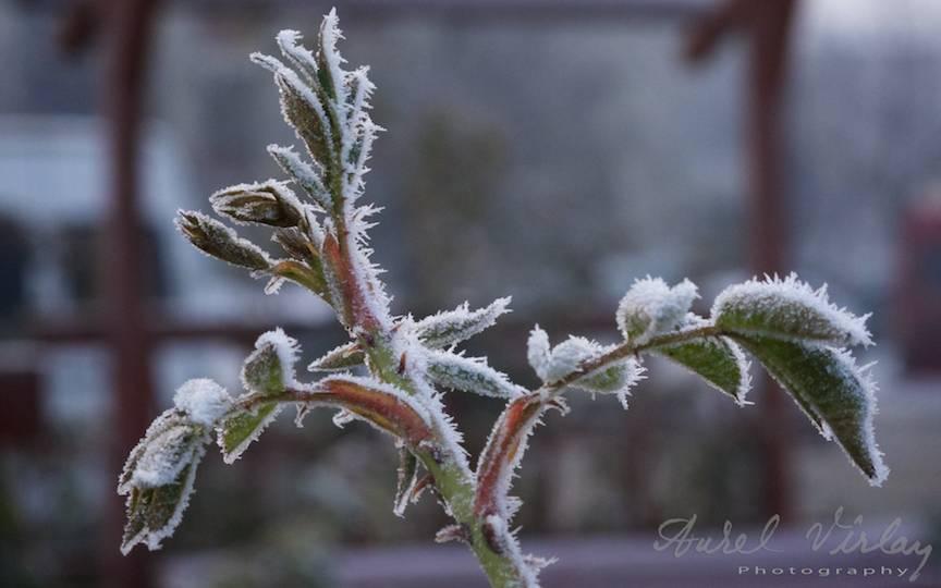 tinere vlastare _Fotografii-iarna-Bucuresti Promoroaca-cristale-ger  7