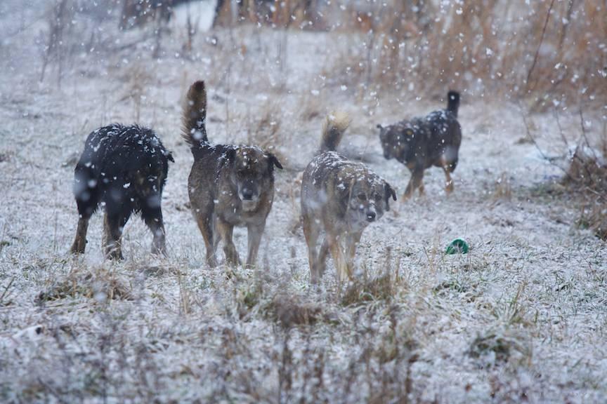 Haita caini vagabonzi Zapada-mieilor peisaje foto Bucuresti-iarna 4
