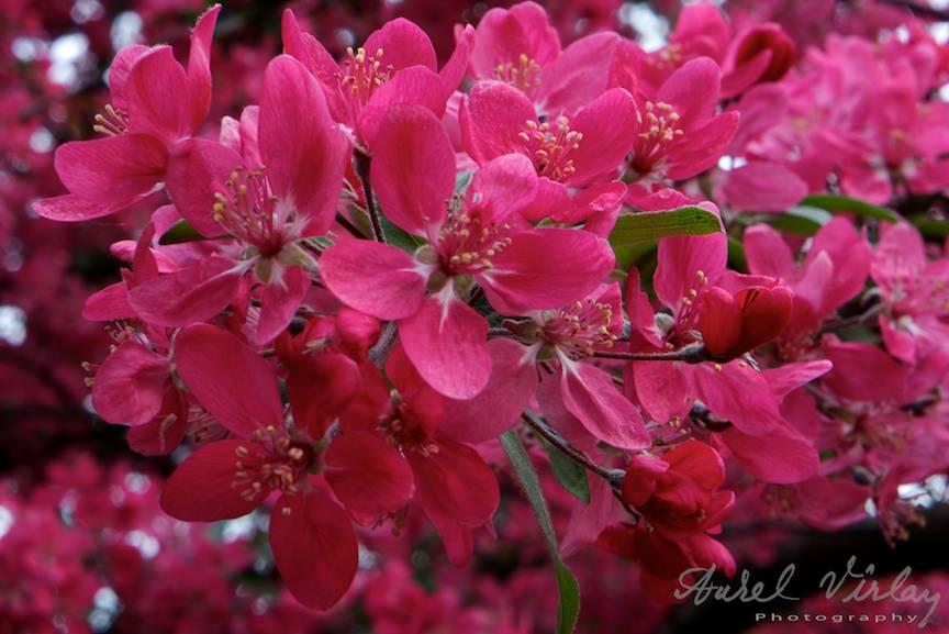 Detaliu foto roz-siclam.