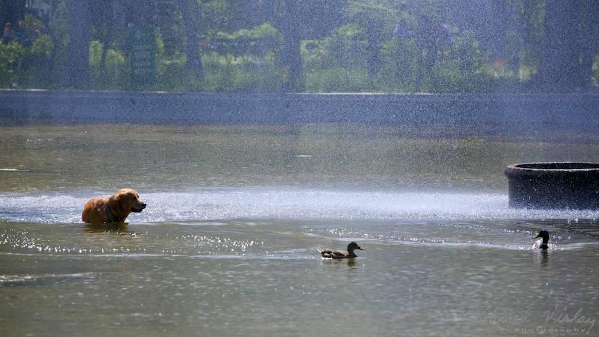 Fotografie rata caine labrador vanator lacul Cismigiu-FotoAV-1