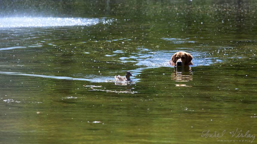 Fotografie rata caine labrador vanator lacul Cismigiu-FotoAV-2