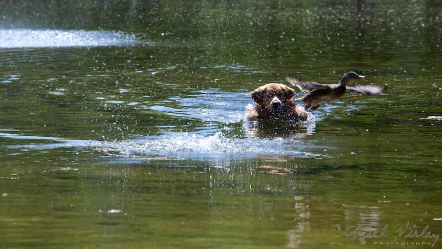 Fotografie rata caine labrador vanator lacul Cismigiu-FotoAV-3