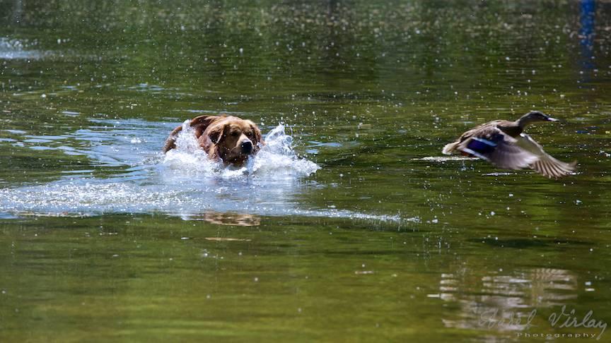 Fotografie rata caine labrador vanator lacul Cismigiu-FotoAV-4