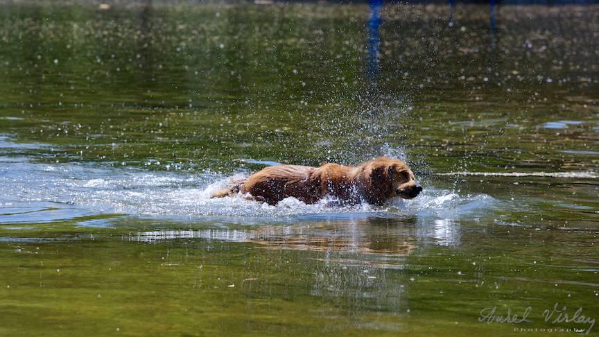 Fotografie rata caine labrador vanator lacul Cismigiu-FotoAV-5