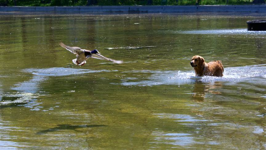 Fotografie rata caine labrador vanator lacul Cismigiu-FotoAV-6