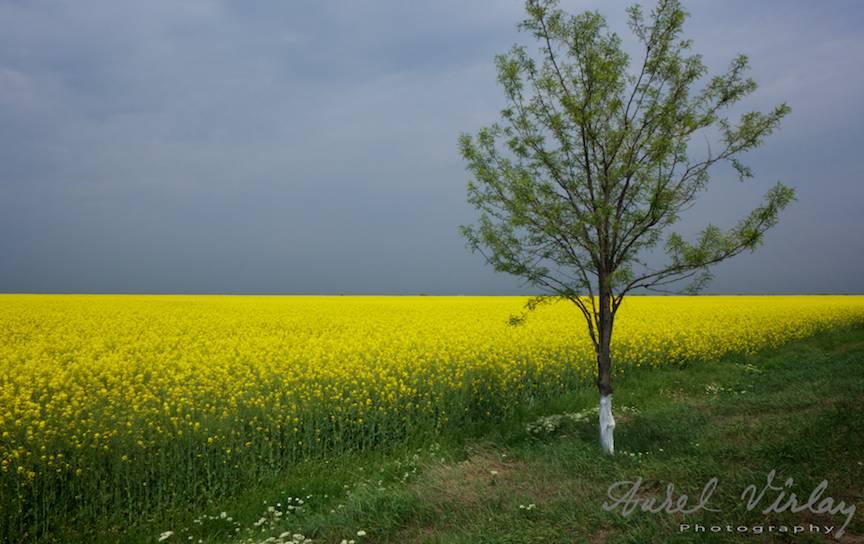 Peisaj foto campie flori galbene rapita primavara -1