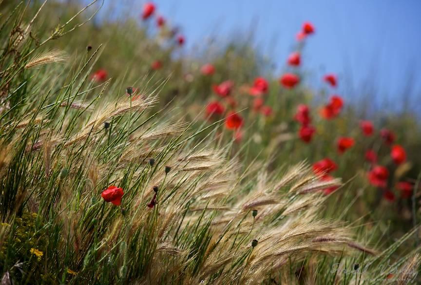 Vama Veche Fotografii Maci rosii spice iarba