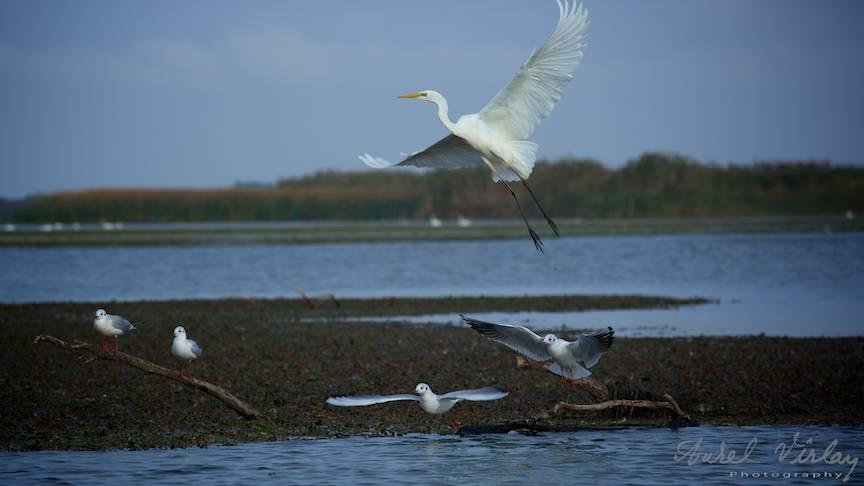 Egreta Mare in tandem cu doi pescarusi pe Lacul Trei-Iezere.