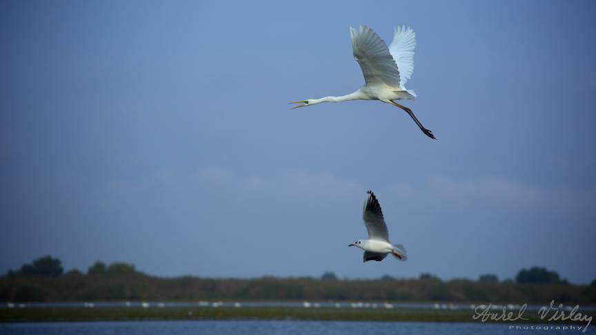 Fotografii cu pasarile Deltei: Egreta Mare si Pescarusul.