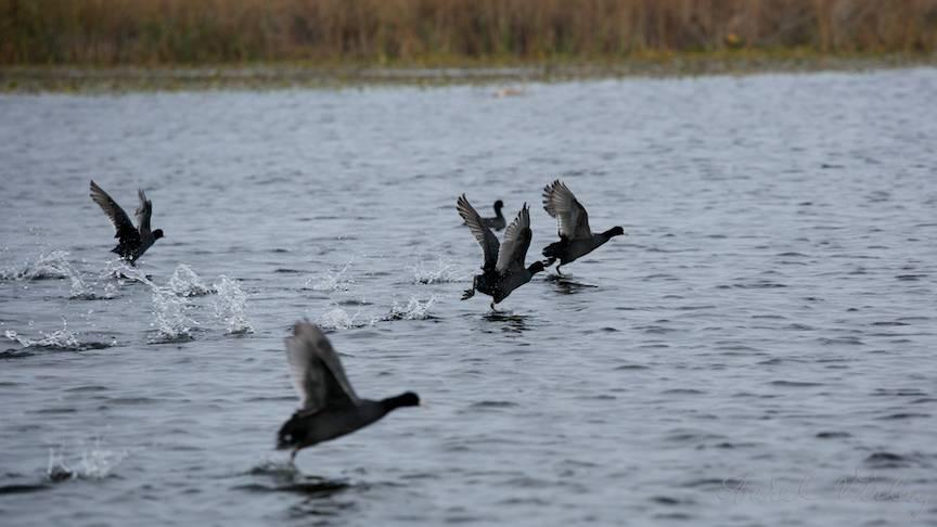Panica intre lisitele de pe lacul Trei Iezere.