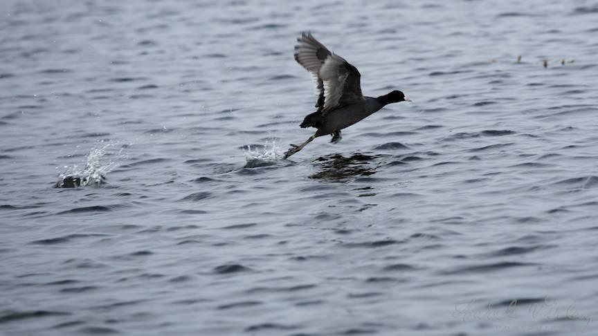 Fotograful pe urmele unei Lisite ce bate apa pentru a-si lua zborul.