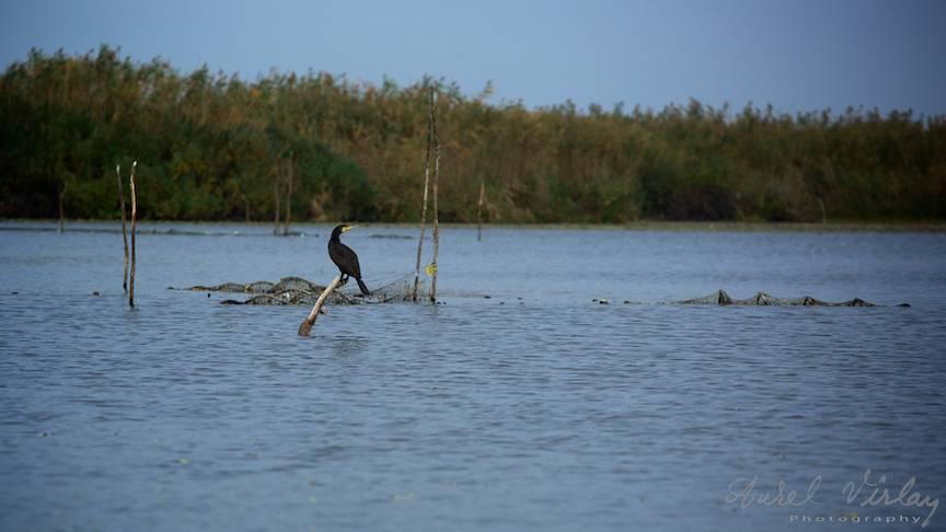 Un Cormoran atent la tot ce misca pe apa, sub apa, sau in vazduh.
