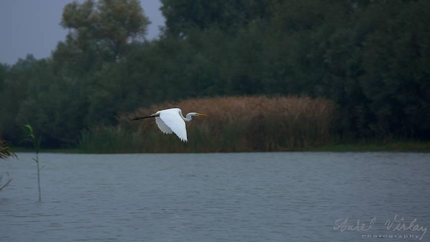 O fotografie favorita cu o egreta planand peste apa Deltei Dunarii.