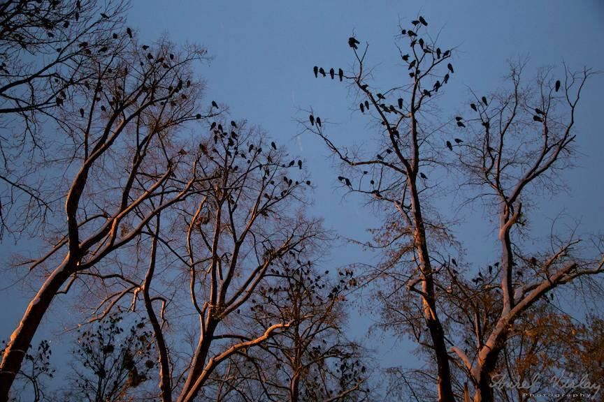 Pasarile lui Hitchcock in copacii de la Sosea intr-o fotografie de seara