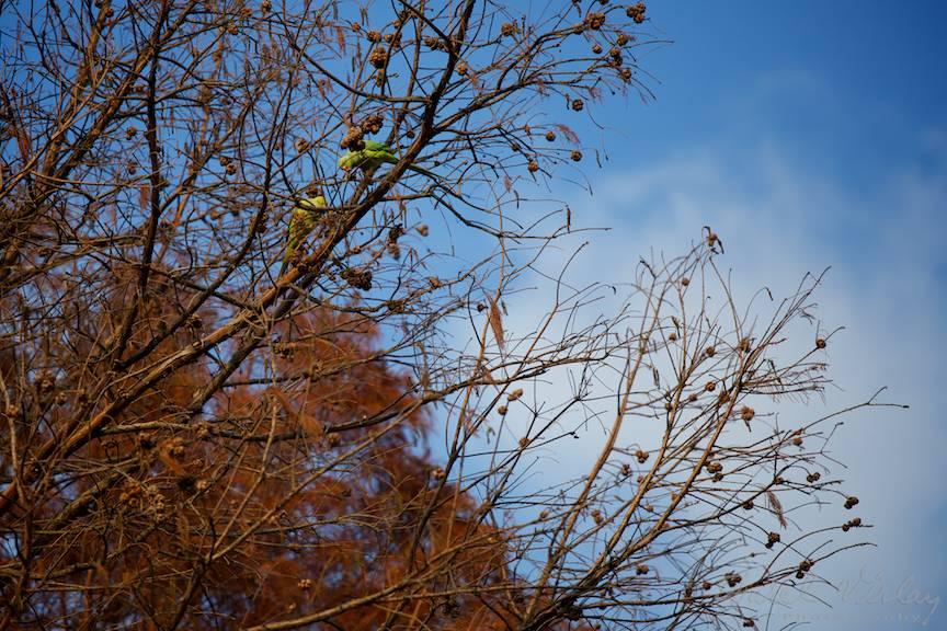 Doi papagali verzi sus in pinii Parcului Tineretului!