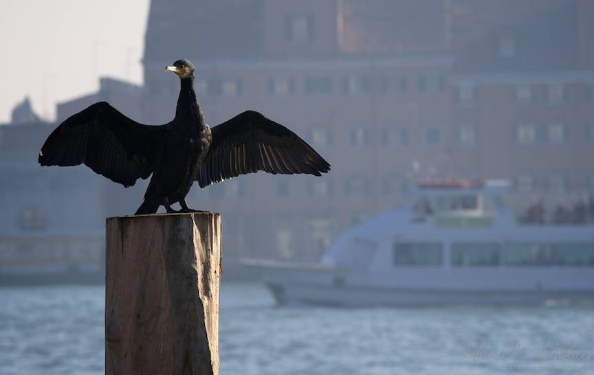 Prin teleobiectivul foto observ ce vigilent si suspicios este cormoranul.