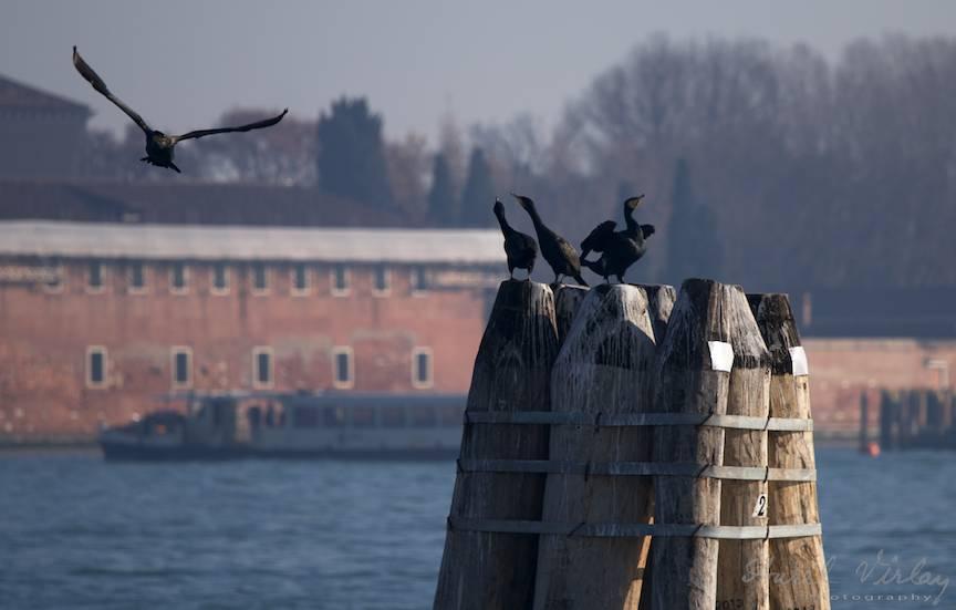 Un cormoran in zbor planat care nelinisteste alti cormorani imi starneste curiozitatea mea de fotograf.
