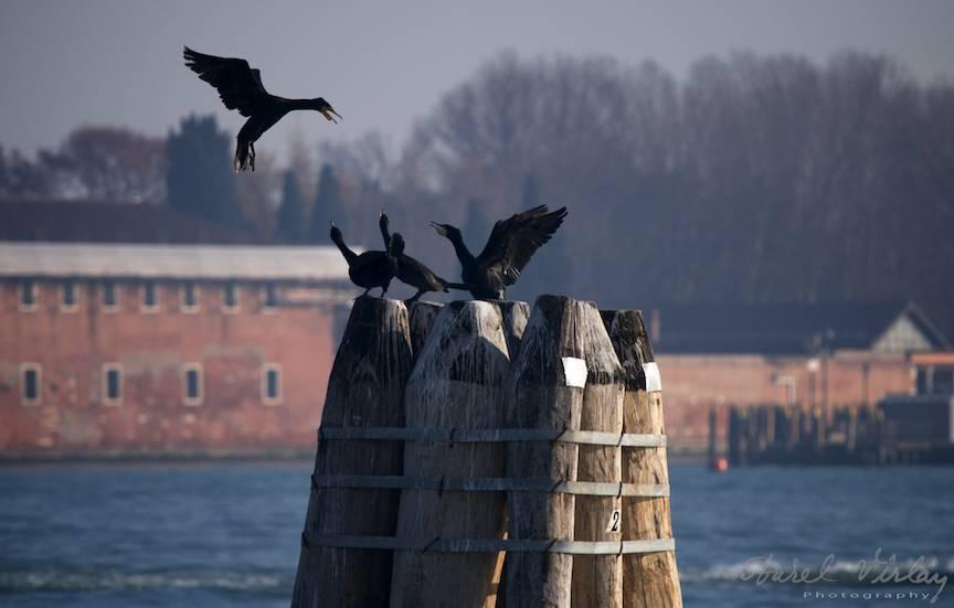 Incepe cearta intre cormorani.