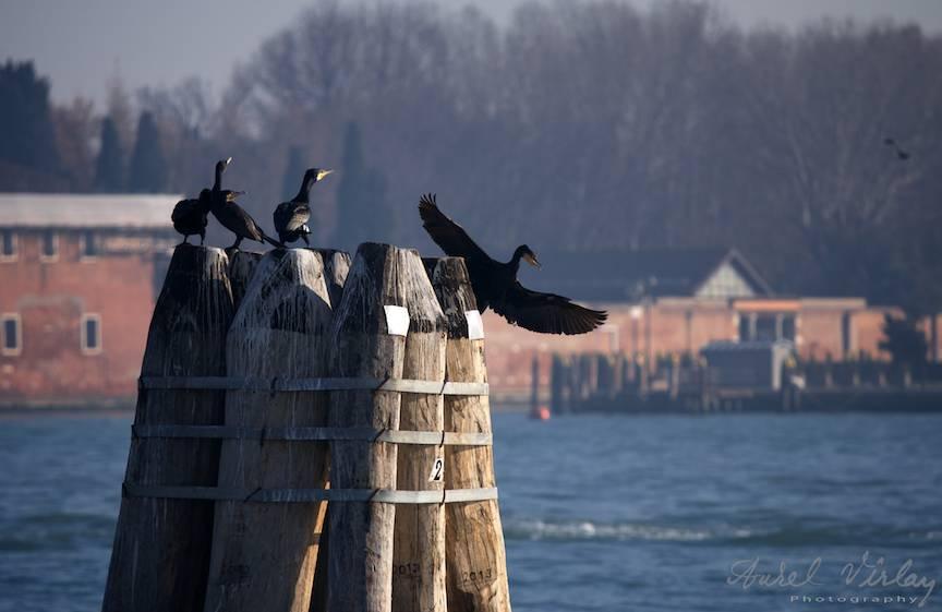 Cormoranul isi desface aripile parasind in zbor campul de lupta.