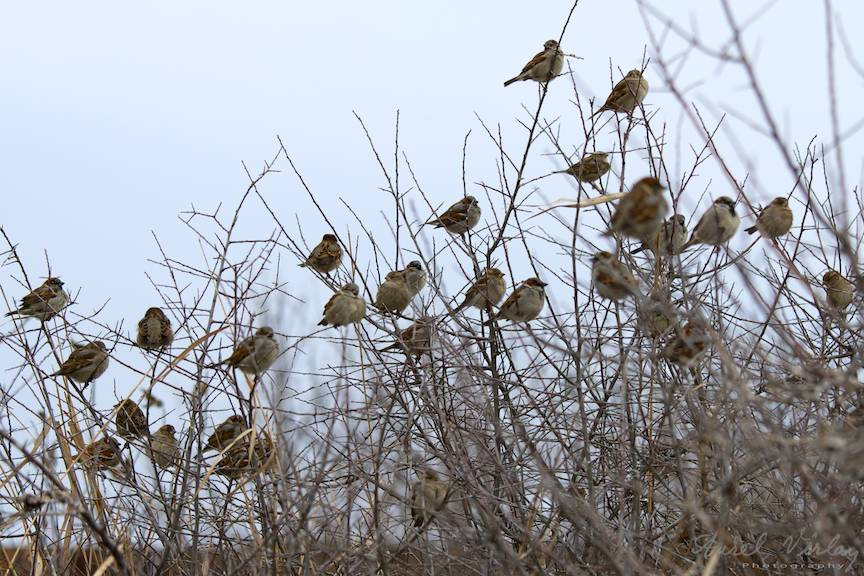 Vrabiile cuminti din arbustii salbatici sunt martorele sarutului.