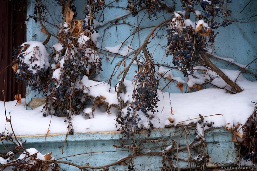 Fotografie de iarna cu struguri de iedera si zapada proaspat cazuta in Bucuresti.