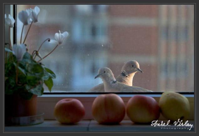Dimineata cu doua turturele - Simbol al Dragostei. Foto Aurel Virlan.