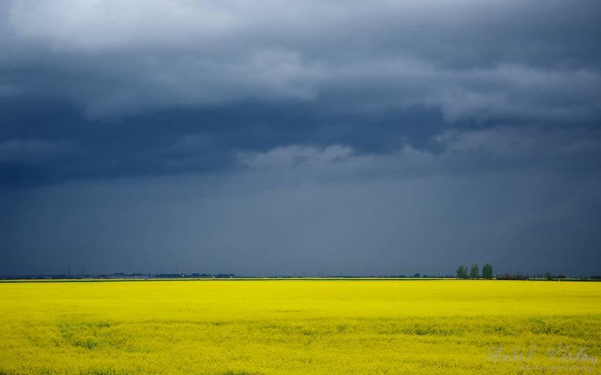 Peisaj rural cu plopi.