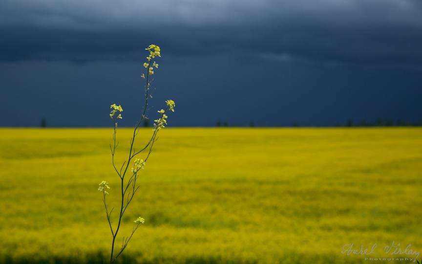 O floare de rapita se intinde semeata catre cerul plin de norii grei de ploaie.