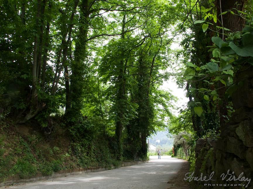 Peisaj foto deosebit cu drumul ce se strecoara pe sub copacii uriasi.